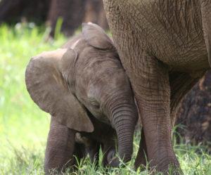 Il-Ngwesi-Elephants-1