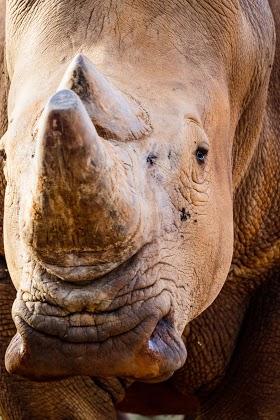Rhino Closeup 1